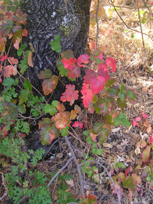 poison oak pictures on skin. Poison Oak – This is what your