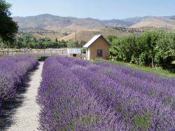 Lavender Ridge lavender essential oil farm