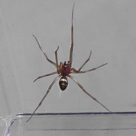 This spider was living in my home in El Cerrito, California