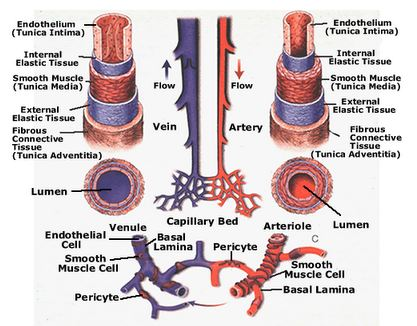 Blood vessel diagram