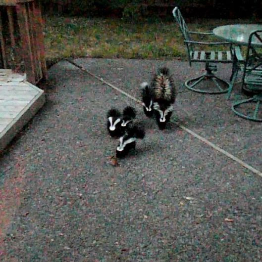 A family of skunks in Bend, Oregon