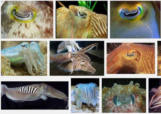 Cuttlefish eyes
