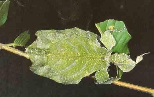 A bug resembling a leaf