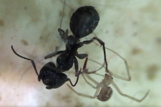A black ant and a tiny tan spider.