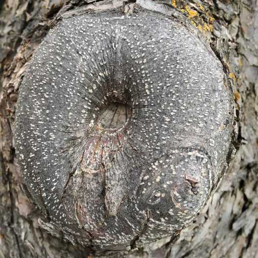 A wooden torus
