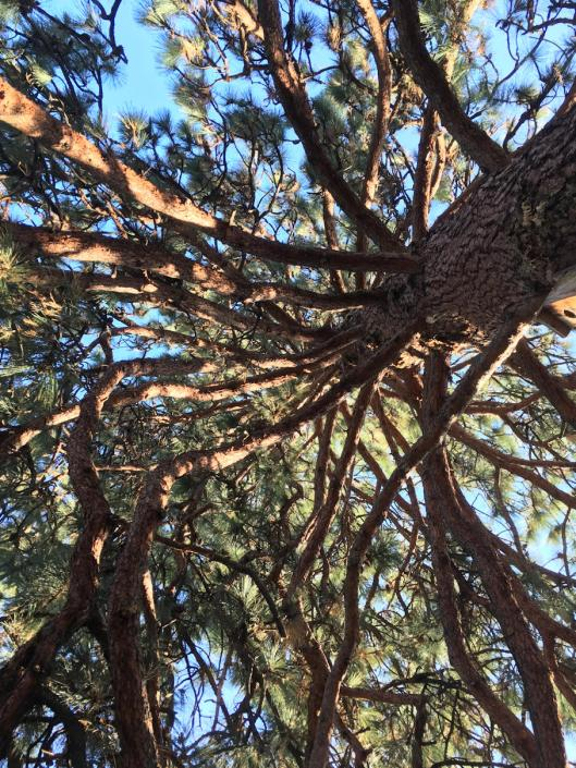 Ponderosa tree branches